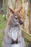Brown kangur, ostrości zakończenie Zdjęcie Royalty Free