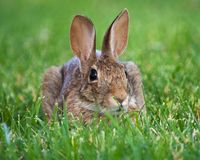 Brown-Kaninchen Lizenzfreies Stockbild