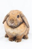 Brown-Kaninchen Stockfotos