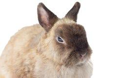 Brown-Kaninchen lizenzfreie stockbilder