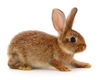 Brown-Kaninchen auf Weiß Lizenzfreies Stockfoto