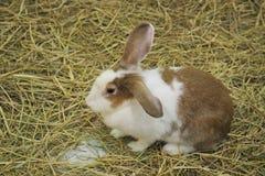 Brown-Kaninchen, das auf Stroh sitzt Stockfotos