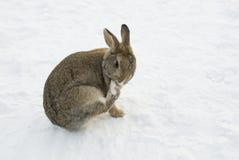 Brown-Kaninchen im Schnee, der seine Tatze säubert Lizenzfreies Stockfoto