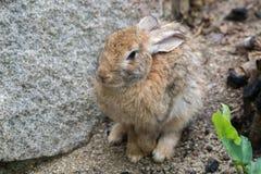Brown-Kaninchen mit Felsen Stockfotos