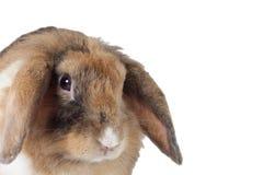Brown-Kaninchenabschluß oben lizenzfreies stockbild