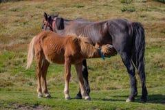 Brown karmienia kobyli źrebię w polu Brown źrebię pije mleko Konie w paśniku Rolny życia pojęcie Rancho zwierzęta obrazy royalty free