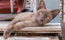 Brown-Katze, die auf einem Bretterboden liegt Stockbild