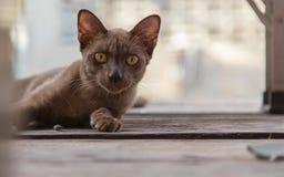 Brown-Katze, die auf einem Bretterboden liegt Lizenzfreie Stockfotografie