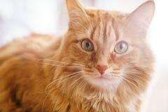 Brown-Katze, rote männliche Katze, Ginger Cat Stockfotografie