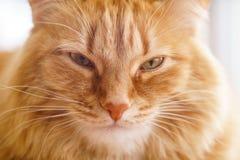 Brown-Katze, rote männliche Katze, Ginger Cat Lizenzfreie Stockfotos