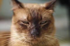 Brown-Katzenextremabschluß oben Stockbild