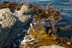Brown kelp floating in ocean Royalty Free Stock Photo