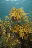 Brown kelp and seaweed Stock Images