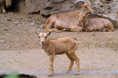 A brown kid with parents. Wild Goats royalty free stock images