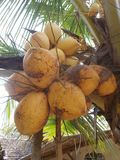Brown King coconut fruit orange color hanging on the tree. Brown King coconut fruit at the tree, orange coconuts on the garden Stock Photo