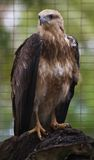 Brown Kite. A brahminy kite alerted by high pitched squeels of laughing children stock photo