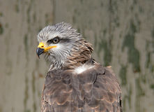 Brown  Kite flying predator. Brown  Kite in the rescue center, Milvus migrans Stock Images