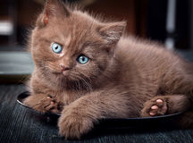 Brown kitten on black plate Stock Photos