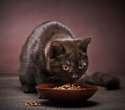 Brown kitten and cat food Royalty Free Stock Photography
