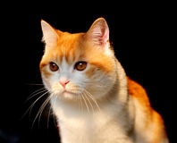 Brown kitten. A male cat in home Stock Photo