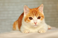 Brown kitten. A male cat in home Stock Photos