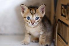 Brown Kitten Portrait Stock Images