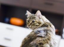 Brown kitten of siberian breed in the house. Beautiful brown cat, siberian breed Stock Photo