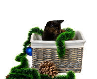 Brown kitten sitting in wicker basket with Christmas tinsel, Christmas-tree balls, pine cone. And looking away. Isolated on white background royalty free stock image