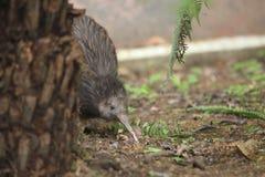 Brown kiwi stock images
