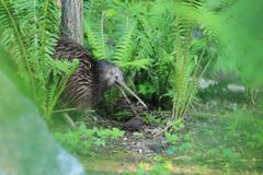 Brown kiwi. With open bill in ferns stock photos