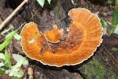 Brown-Klammerpilz auf Baumstamm Lizenzfreie Stockfotos