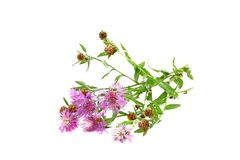 Brown Knapweed Royalty Free Stock Image