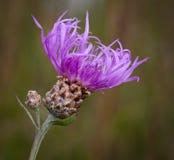 Brown Knapweed (Centaureajaceaen) Fotografering för Bildbyråer