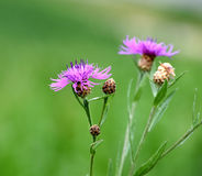 Brown knapweed close-up, against a green background & x28;meadow& x29;. Centaurea jacea & x28;brown knapweed or brownray knapweed& x29; is a species of Royalty Free Stock Photos