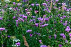 Brown knapweed meadow. Summer field scenery stock photo
