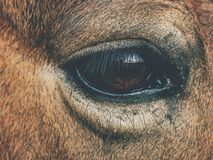 Brown końska głowa Koń chodzi w gospodarstwie rolnym obraz royalty free