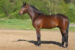 brown koń Zdjęcie Stock