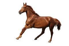 Brown koń cantering swobodnie odizolowywający na bielu Obrazy Royalty Free