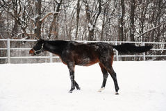 Brown koń jest bawić się i brn w śniegu przy tłem monochromatyczny zima krajobraz Obraz Stock