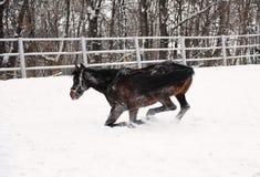Brown koń jest bawić się i brn w śniegu przy tłem monochromatyczny zima krajobraz Zdjęcie Stock