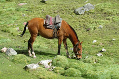 Brown koń na zielonej łące Obraz Royalty Free