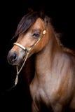 Brown koń odizolowywający na czerni Obraz Royalty Free