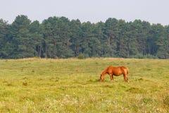 Brown koń pasa na łące przeciw lasowemu tłu na pogodnym lato ranku obrazy stock