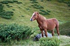 Brown koń patrzeje szczęśliwym Fotografia Royalty Free