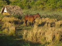 Brown koń przy świtami ranek Fotografia Royalty Free