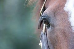 Brown koń wyścigowy Obrazy Royalty Free
