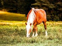 Brown koń z białym grzywy pasaniem na łące Zdjęcie Royalty Free