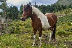 Brown koń z białymi łatami w łące Zdjęcie Royalty Free