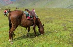 Brown koń z comberem na zielonej łące Fotografia Stock