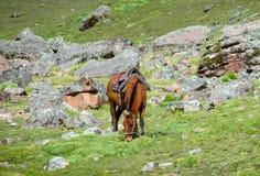 Brown koń z comberem na zielonej łące Zdjęcie Royalty Free